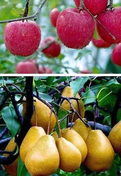 苹果和梨是我国北方地区的主要水果,因其产量高,需要及时补充生长