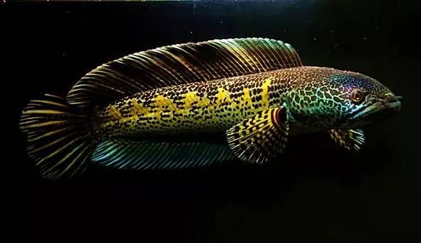俗称黄金眼镜蛇雷龙.图片:seriouslyfish.com图片