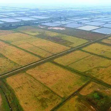令人振奋!千亩海水稻收割了! 这位合作社社长了不得