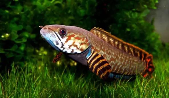 俗称彩虹雷龙.图片:seriouslyfish.com图片