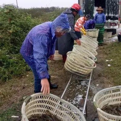 虾病频发,全国缺虾严重!这种养虾模式风险低、效益稳,越来越受追捧