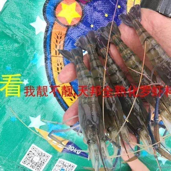 罗氏虾养殖遭遇四大难题,本文不仅教你如何破解,还可让你亩产增加300斤!