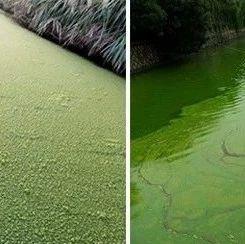 緊急!藍藻大爆發,魚蝦蟹缺氧死亡危險期!你要怎么做?