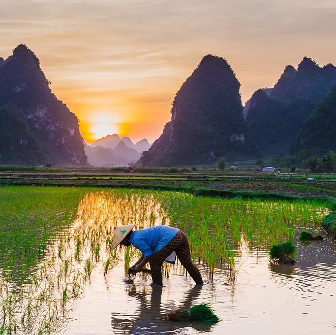 水稻出现药害怎么办?