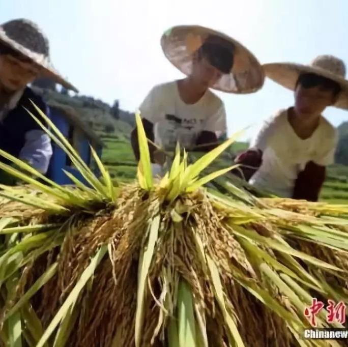 首届中国农民丰收节9月23日举办,将在梅州设全省唯一分会场