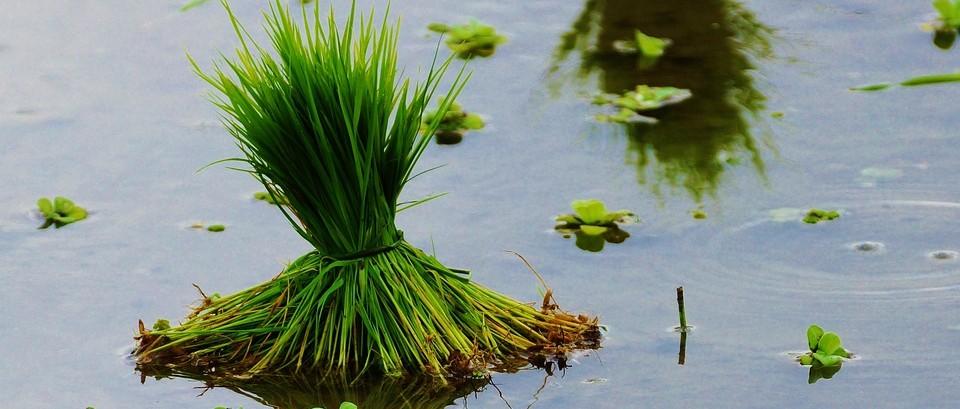 老撾、柬埔寨、尼泊爾水稻種植情況了解下!
