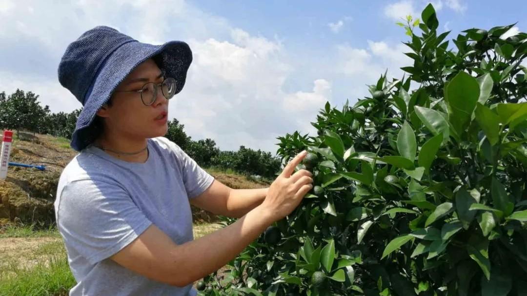 """从化90后经营""""国家现代农业(柑橘)产业体系示范园"""",带动农民种""""玫瑰柑""""卖到脱销!"""