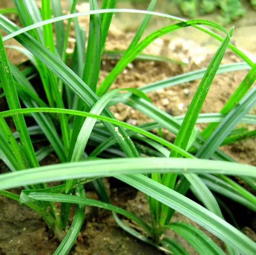 玉米田常见杂草及防治,看这一篇就够了!(值得收藏)
