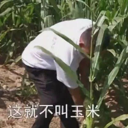 """玉米成了""""芦苇"""",怎么回事?"""