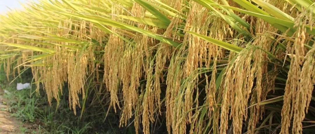 去年销售种子5万斤,今年己超30万斤,晶两优1377品种掀起广东抢购热潮!