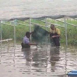 大棚虾即将开捕,可卖近50元/斤!养殖户最关心成本问题在这里……