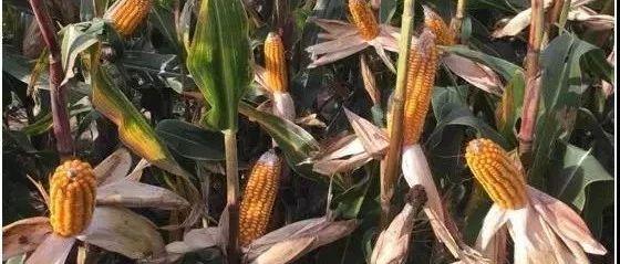 玉米农户最关心的三个问题都在这了!