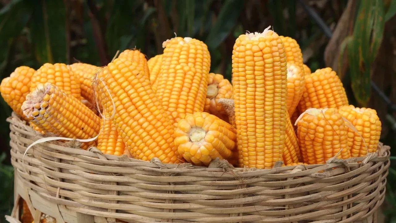 涨!玉米价格每斤7毛5,后期上涨势头会持续吗?