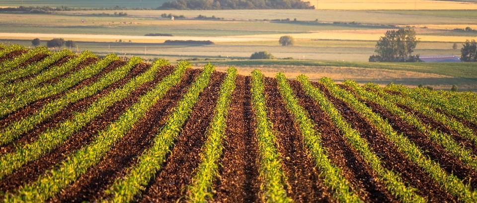 高温多雨天,玉米控旺该不该推迟?