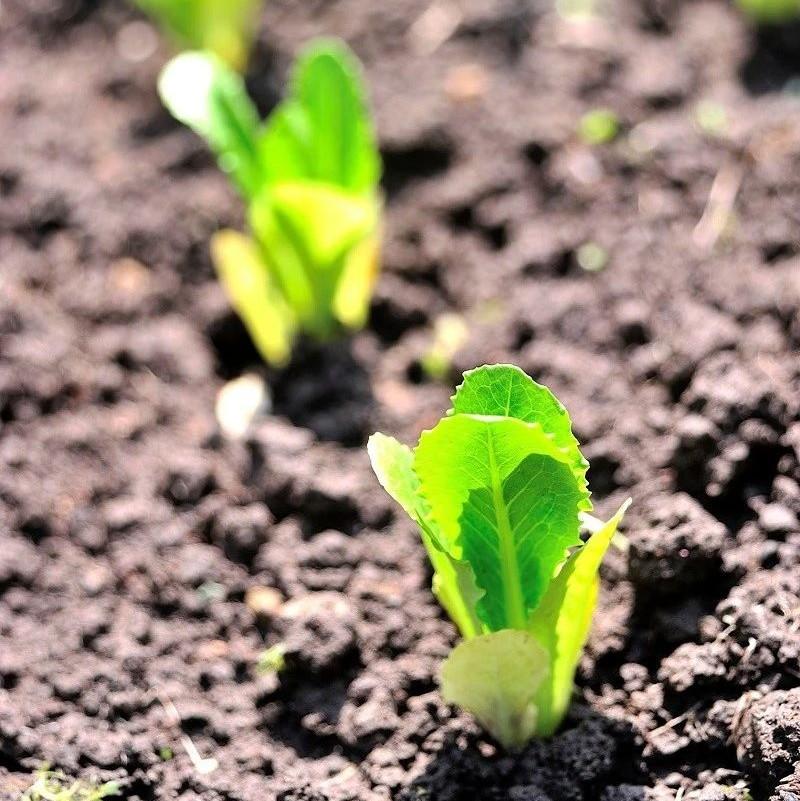 蔬菜新品种登记数量达5334个!乱象之下如何看清局势?