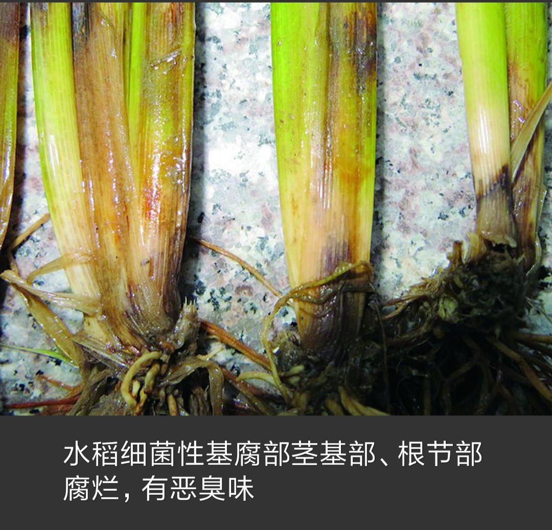 水稻丰收图片