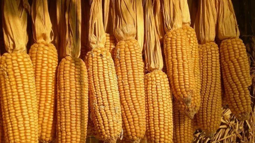 玉米价格预计0.95元/斤!关于今年行情、种植面积,请速看这份数据