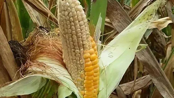 又異常了!玉米空稈、不結籽、禿尖……究竟該怎么提前預防?