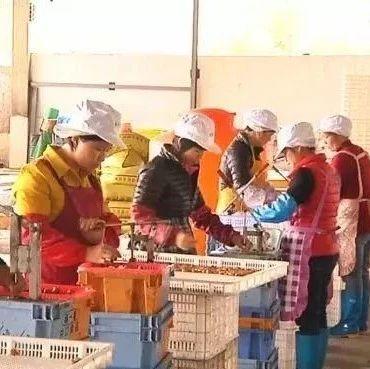 千亩荒山变废为宝!看陆河清绿青梅种植专业合作社如何带领留守妇女脱贫致富!