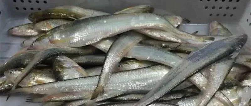 这条鱼最高价9000元一斤!长江流域将禁捕10年,现在人工繁育新突破!
