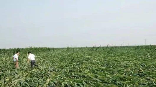 聚焦!玉米株高越高,抗倒能力越差?这是严重错误!