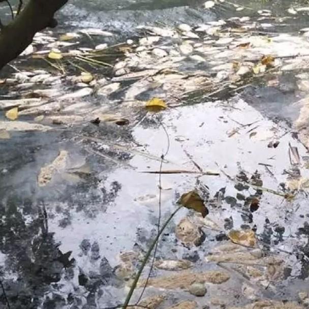 驚!一個村7個魚塘同時大量死魚?村民懷疑跟這件事有關…