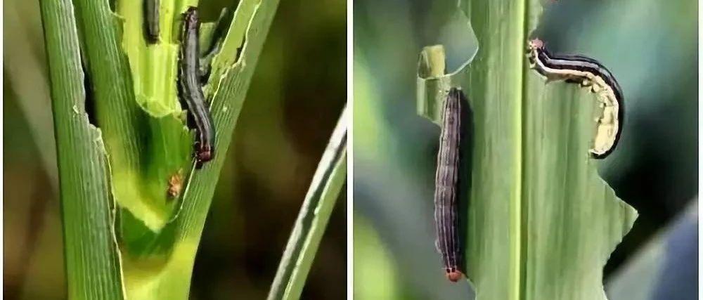 紧急!三代粘虫大面积暴发,部分地区近十年为害最严重,玉米被吃成光秆