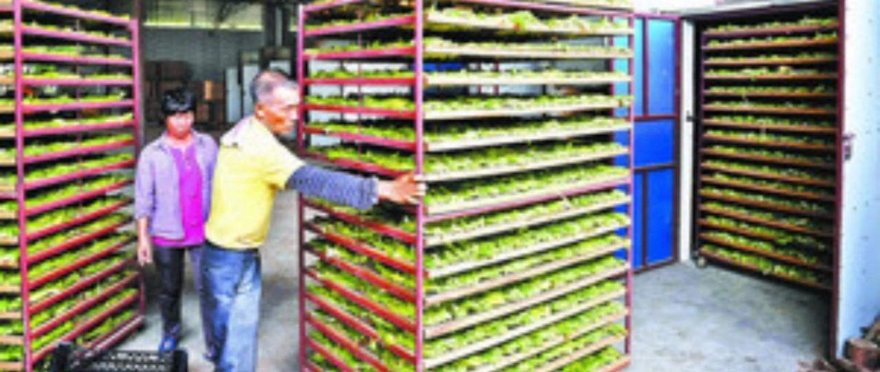 果花深加工后成致富新法宝,阳西农业合作社带领农户每亩增收5000元