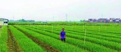 村集体收入翻四倍!清远市雅文村整合土地4000亩发展种植业