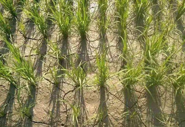 水稻快要晒田了,这些问题要注意
