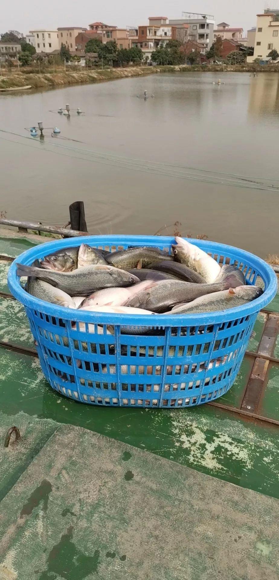 这条高价鱼出事了?!刚抓的一车鱼上车后狂吐暴毙3500斤!流通商急了