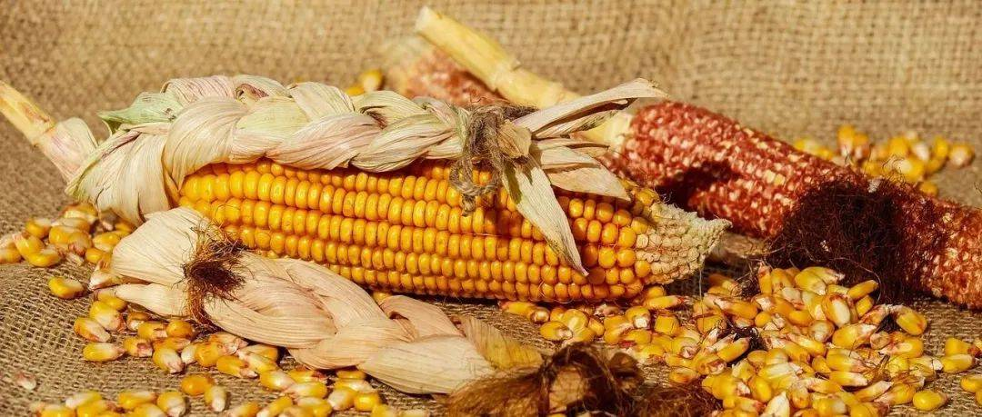 种业人看过来!第二十九届中国北京种业大会—第二届中国玉米种子及产业链峰会即将召开