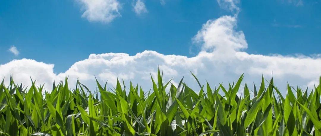 """出彩""""自交系"""",玉米种业发展的核心!"""