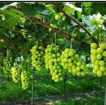 【技术指导】阳光玫瑰葡萄种植管理技术!管理方式逐渐成熟