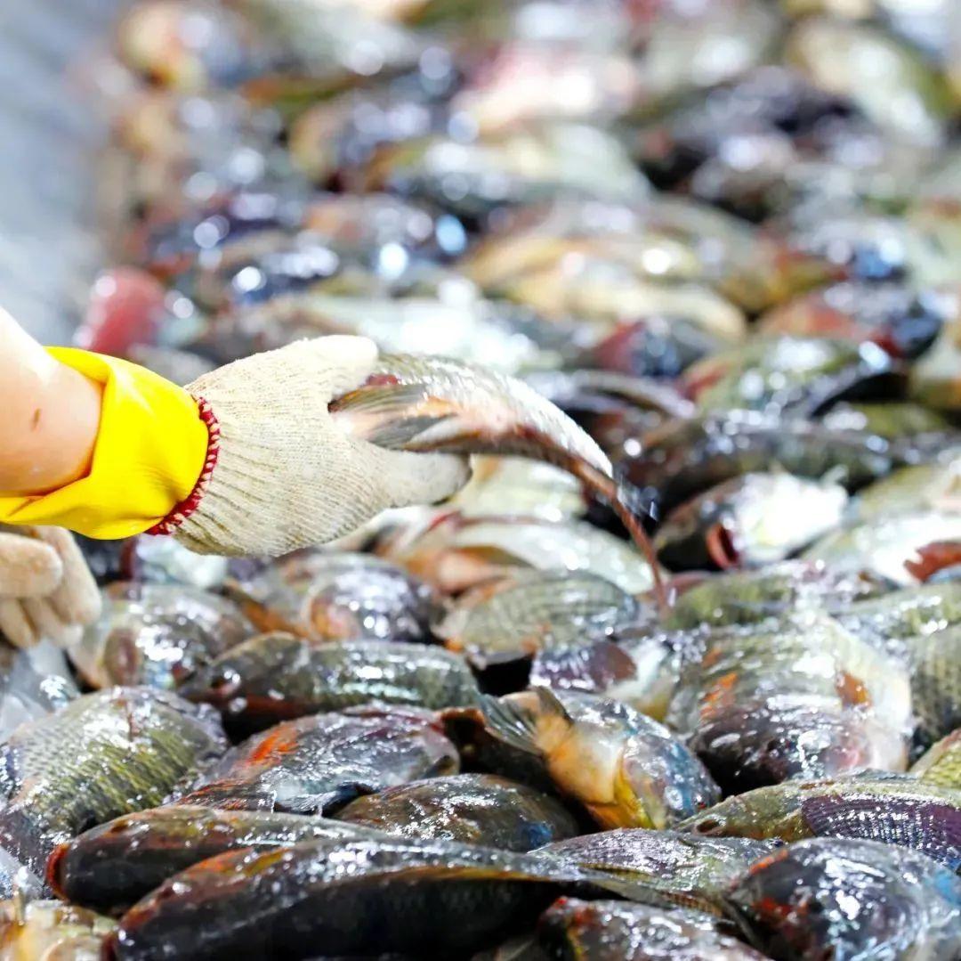 全球超40个国家地区都在吃这条鱼!烤制加工后鱼价增6倍以上!