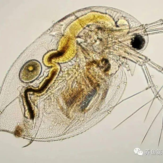 这类生物是水产养殖中生态修复精灵!它们是这么发挥作用的呢?